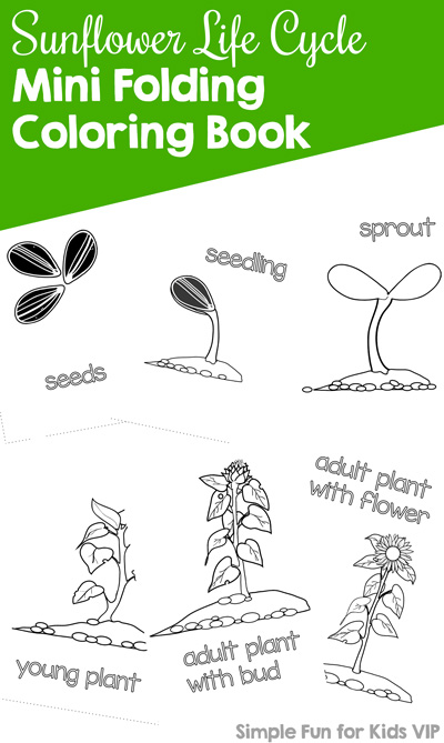 Color and learn about the sunflower life cycle mini folding coloring book. Day 5 of the 7 Days of Sunflower Printables for Kids series.